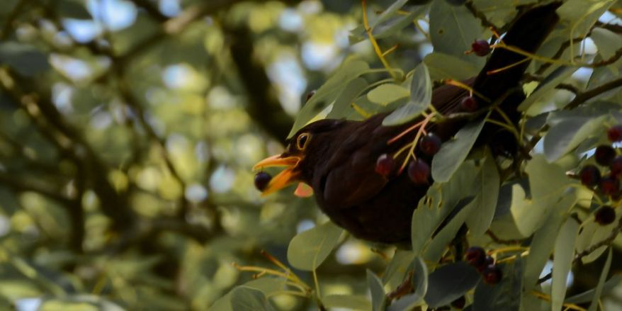 Common Blackbird Snapshot