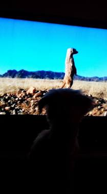Dog is watching TV 1