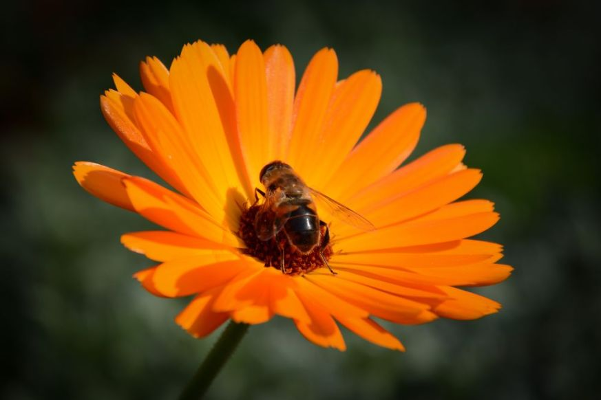 Flower And Hoverfly