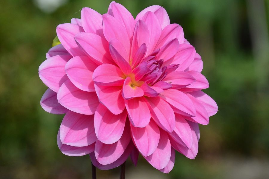 Quite beautiful pink flower diary of dennis beautiful pink flower mightylinksfo