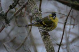 little yellow green bird