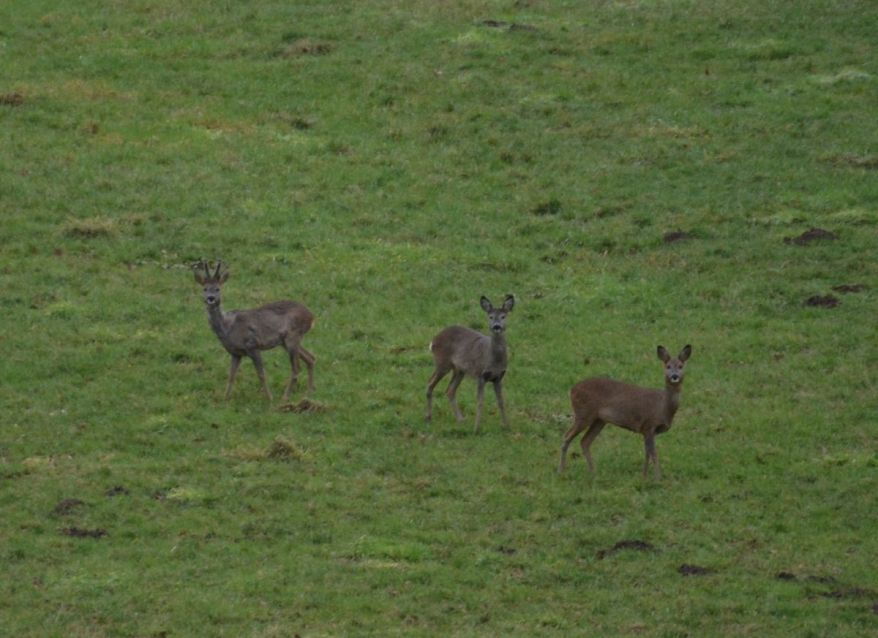 Wild Deer In Germany