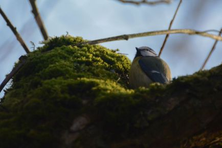 Eurasian blue tit photo