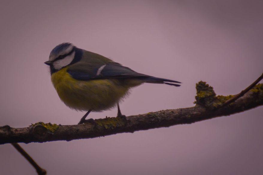 Beautiful Bluetit Bird