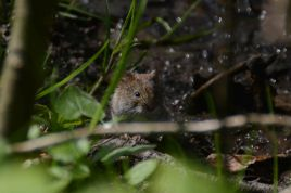 Mouse in the forest