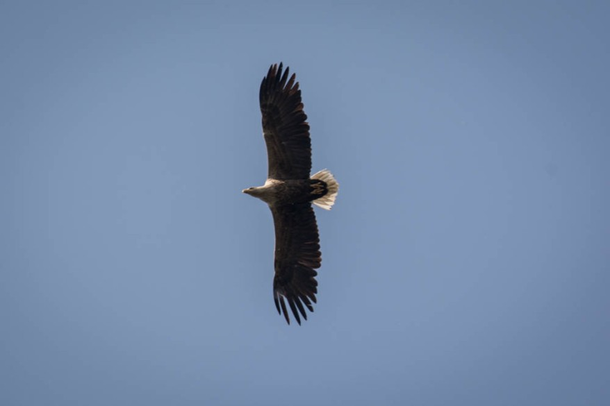 White-tailed eagle - sea eagle - seeadler - photo 1