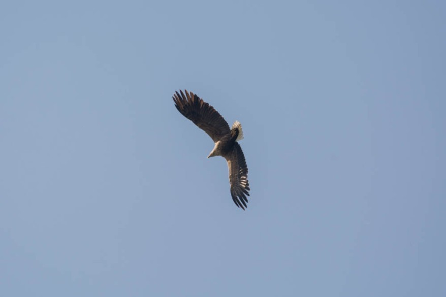 White-tailed eagle - sea eagle - seeadler - photo 2