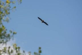 White-tailed eagle - sea eagle - seeadler - photo 6