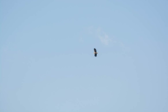 White-tailed eagle - sea eagle - seeadler - photo 8