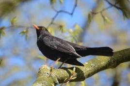 Common Blackbird Close-Up