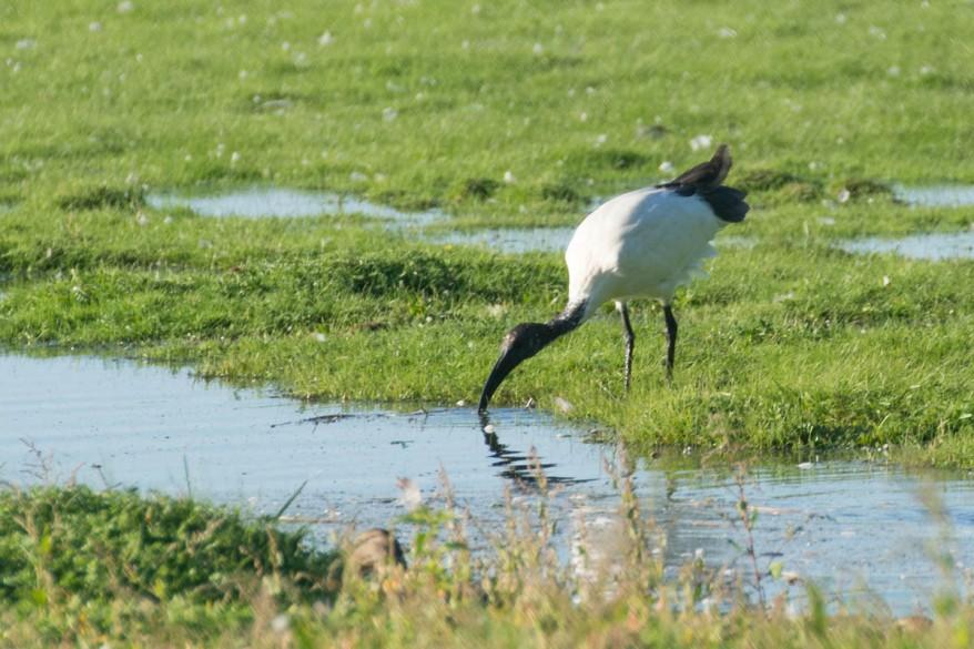 African sacred ibis - Threskiornis aethiopicus - Heiliger Ibis
