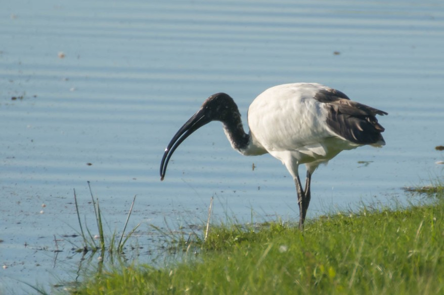 african-sacred-ibis