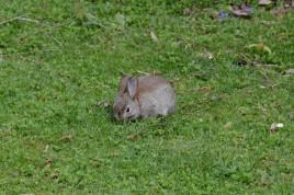 european-rabbit