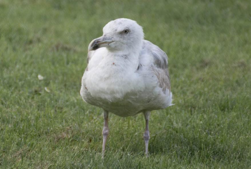 glaucous-gull