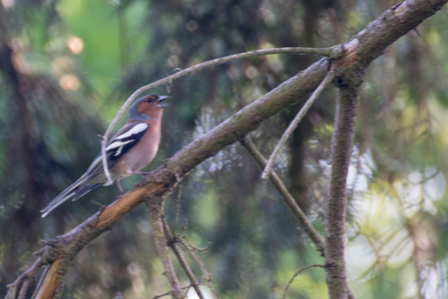 male-chaffinch-with-nuptial-plumage