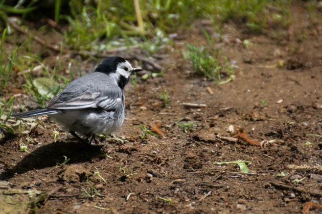 white-wagtail