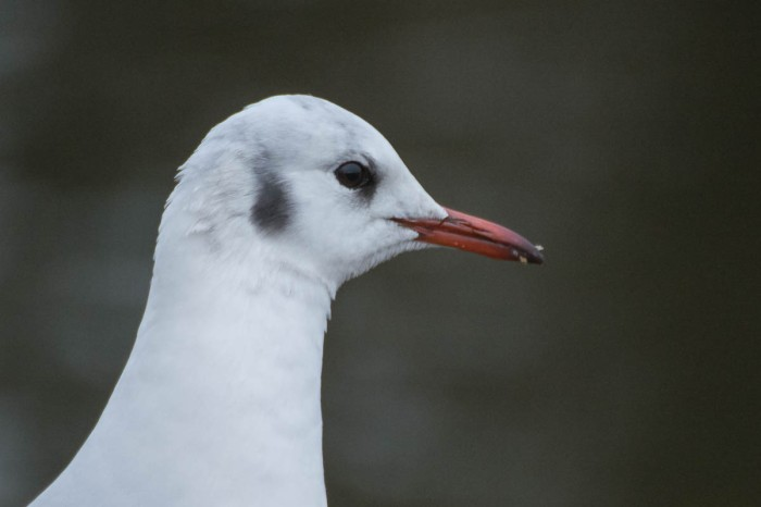 Adult Black-Headed Gull In Winter Plumage - Chroicocephalus ridibundus - Larus ridibundus