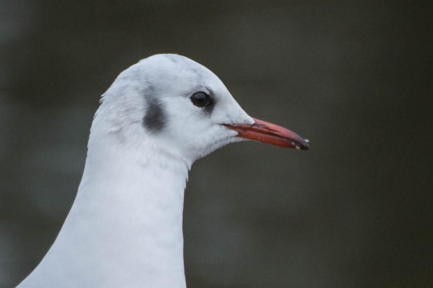 Adult Black-Headed Gull In Winter Plumage - Chroicocephalus ridibundus - Larus ridibundus