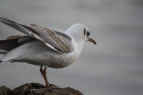 black-headed-gull