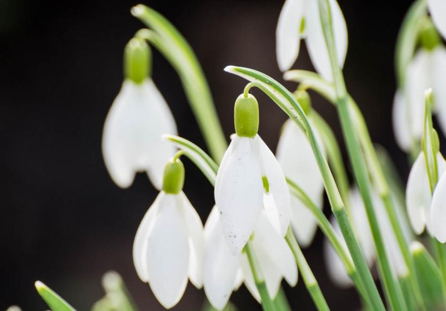 Photo of Galanthus / Snowdrops (Schneeglöckchen)
