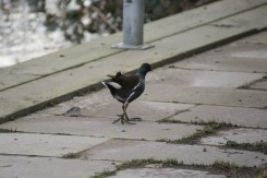 Common Moorhen 4