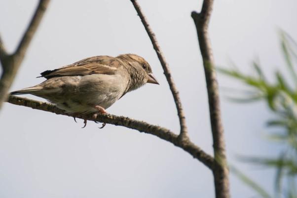 Female house sparrow