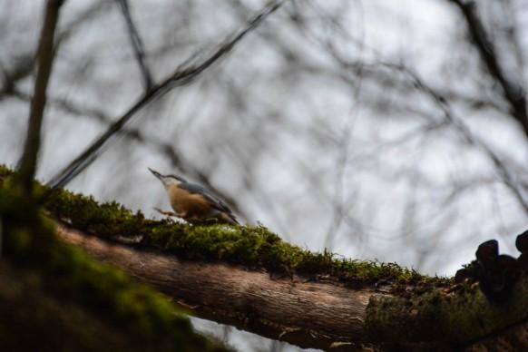 Nuthatch bird on a tree