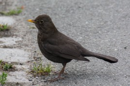 Common Blackbird (Amsel)