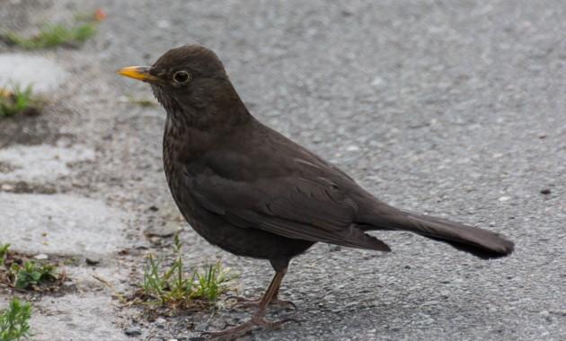 Common Blackbird (Amsel)