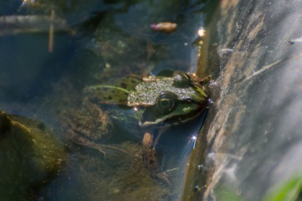 Frog in the pond 1