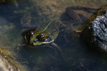 Frog in the pond 2