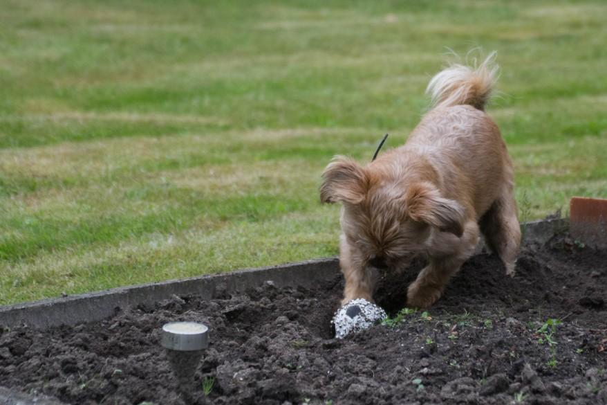 Dog Hides A Ball