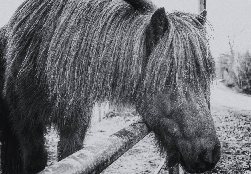 horse photo in black and white
