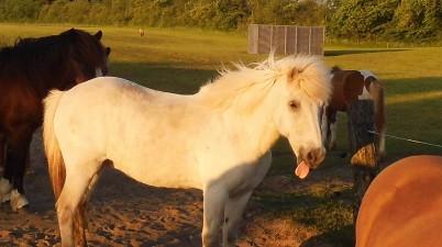 Horse Puts Tongue Out
