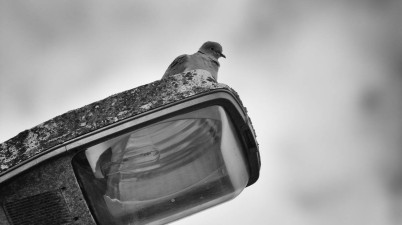 Pigeon on a street light