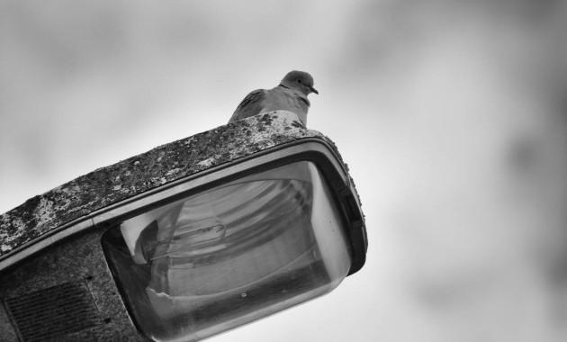 Pigeon on a street light