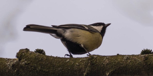 Great tit (Parus major) bird (Kohlmeise)
