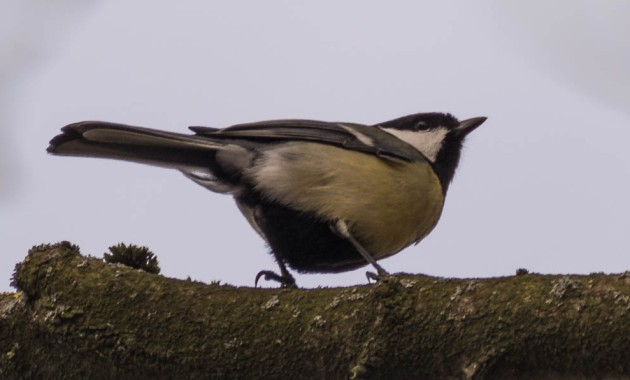 Great tit (Parus major) bird (Kohlmeise)