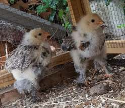 Chicken offspring