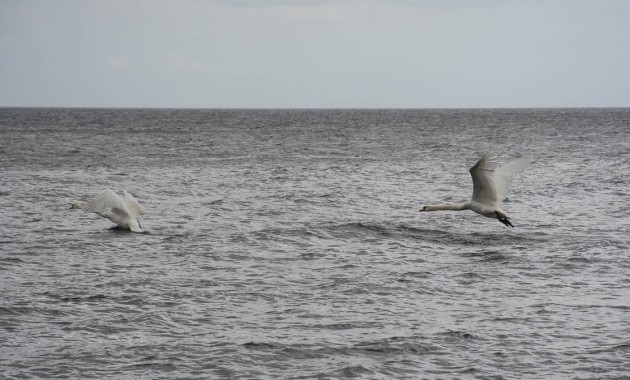 Baltic Sea Swans