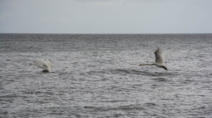 Baltic Sea Swans