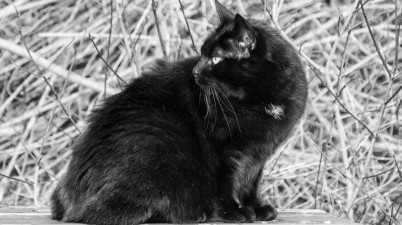 black and white photo of a black cat