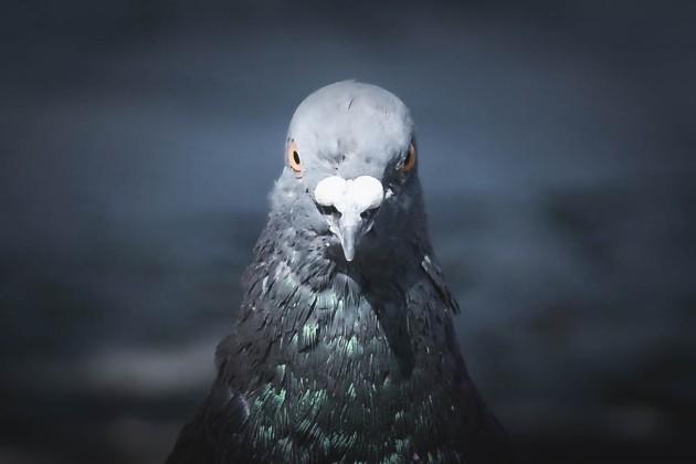 grumpy pigeon