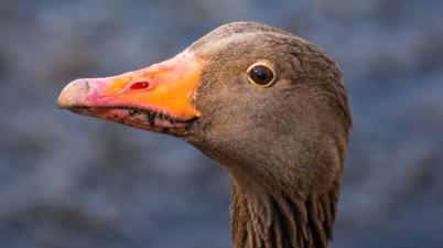 Wild Goose Close-Up