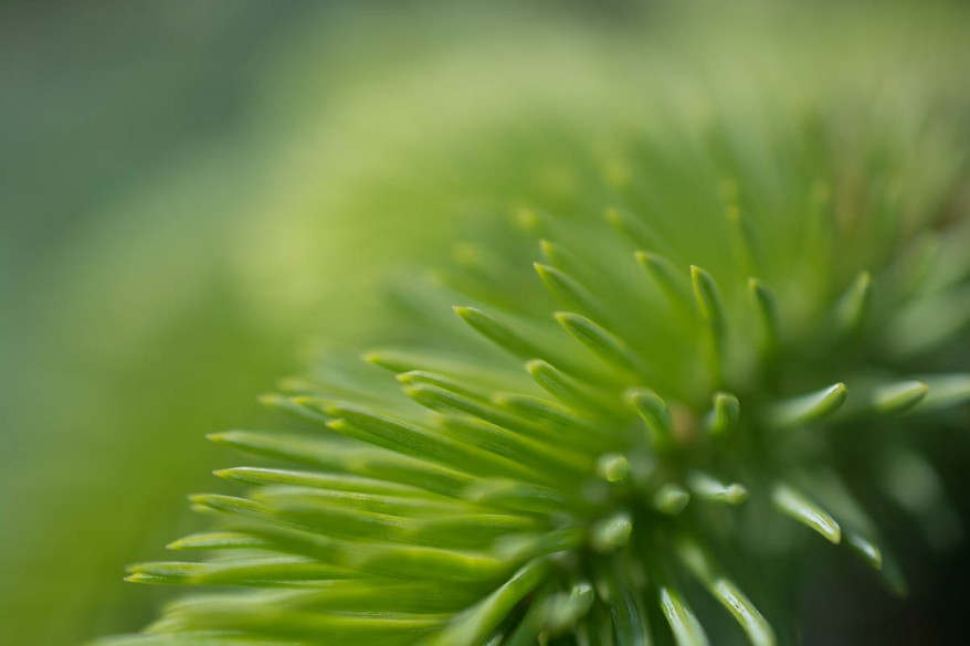 Fir Hedge Background