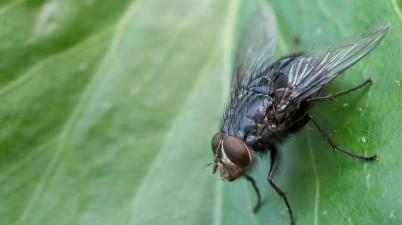40mm macro photo of a fly