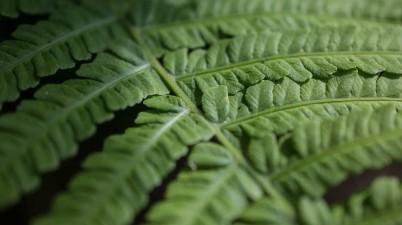 fern leave