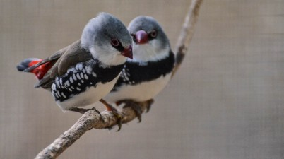 Diamond Firetail Finches