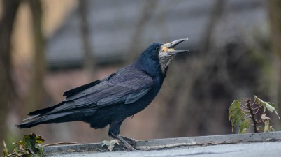 Hungry Rook Bird