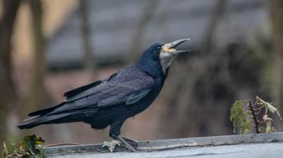 Hungry Rook Bird